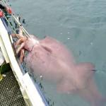 calamaro-gigante-foto-storiche-5