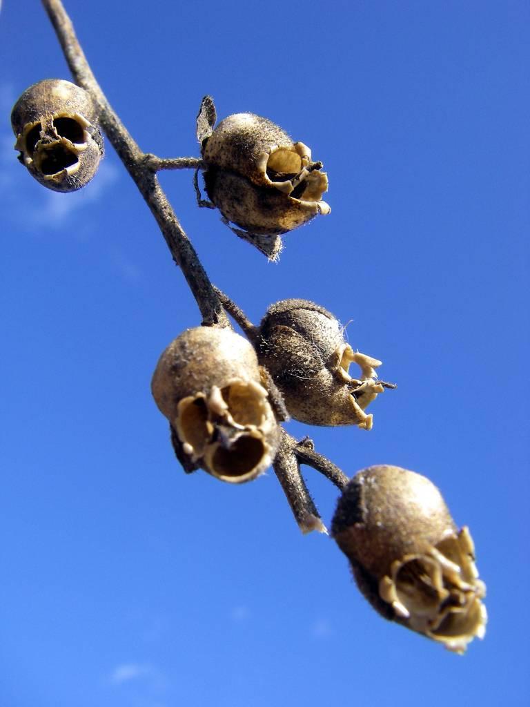 piante-snapdragon-teschi-marroni