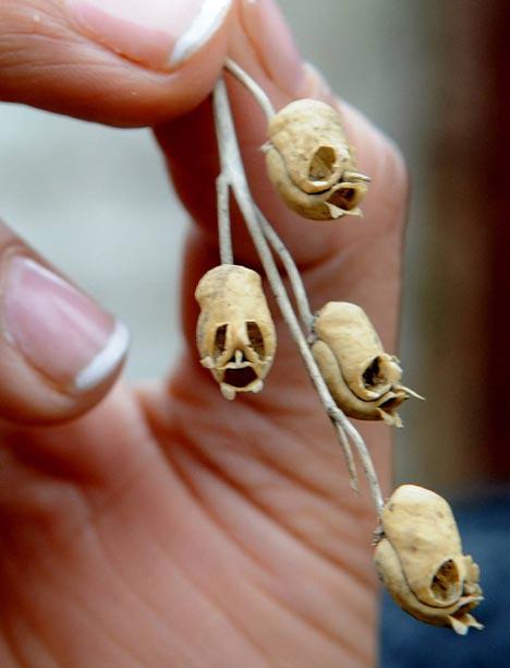 ramo-pianta-snapdragon-teschi