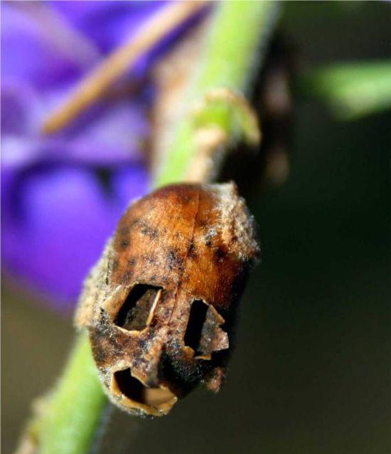 teschio-snapdragon-pianta